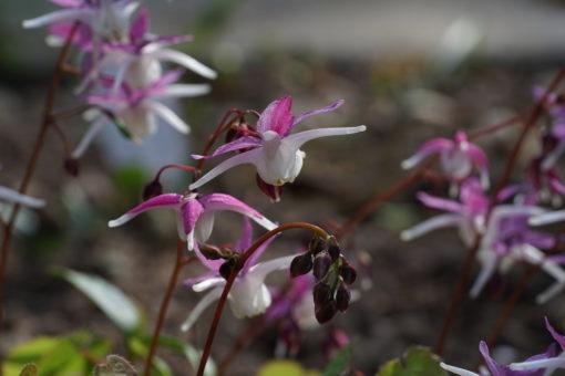 Epimedium grandiflorum 'Mugawa Gen Pan' zeigt sehr klare Farben.