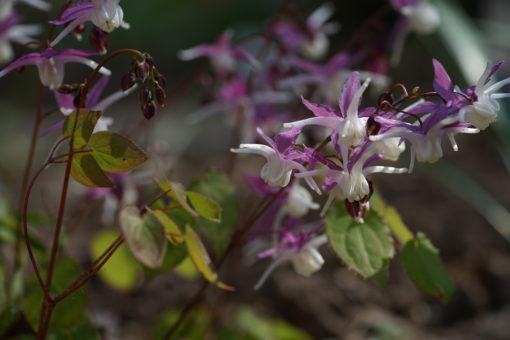 Epimedium grandiflorum 'Mugawa Gen Pan' blüht reichlich über Wochen.