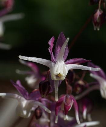 Epimedium grandiflorum 'Mugawa Gen Pan' ist wie der Name schon verrät eine japanische Auslese.
