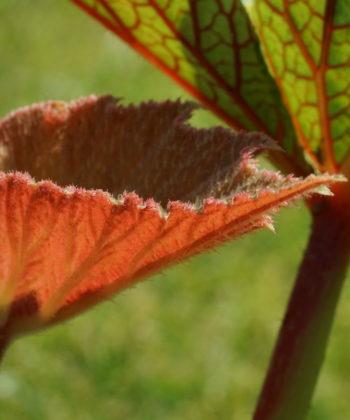 Das junge Laub von Begonia x 'Torsa' ist rötlich.