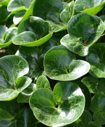 Das tief grüne Laub von Asarum europaeum.