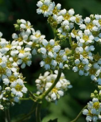 Die üppigen Blüten von Boykinia major CWAH2017058.