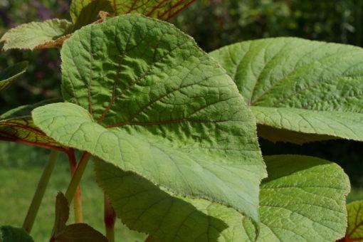 Die Blätter der winterharten Begoniex 'Torsa' erreichen gewaltige Ausmaße.