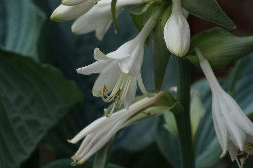 Die weißen Blüten der Hosta 'Queen of the Seas' sind auffällig.
