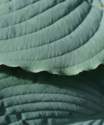 Die Funkie 'Queen of Seas' ist eine sehr große Hosta mit Blättern von dicker Substanz.