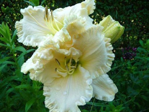 Die Taglilie Hemerocallis 'White Mountain' ist eine seltene stark gerüschte weiße Sorte.