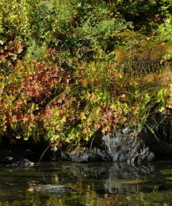 Die dichten Polster von Boykinia major CWAH2017058 am Smith River in Nordkalifornien.