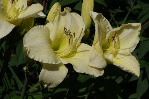 Fast weiße Blüten und grünlischer Schlund zeichnen die Hemerocallis 'Winter in Eden' aus.
