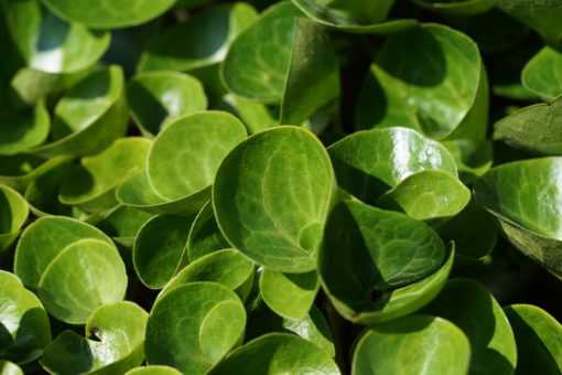 Frühlingsfrische Blätter von Asarum europaeum.