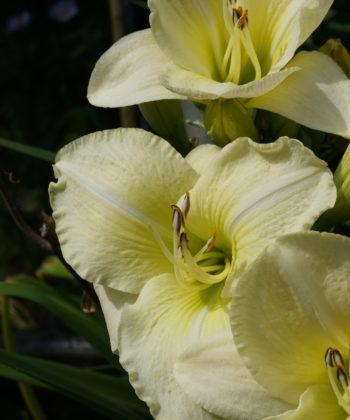 Die Hemerocallis 'Winter in Eden' stammt vom Züchter Petit.