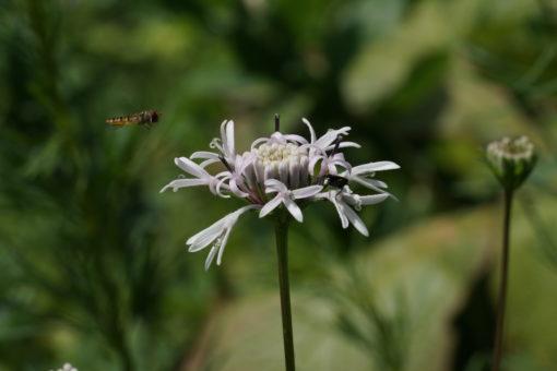 Marshallia mohrii CWAH2018148 gefällt auch den heimischen Insekten.