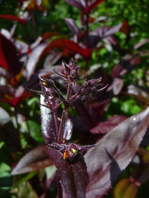 Der Bartfaden Penstemon digitalis 'Husker's Red' hat rote Blätter.