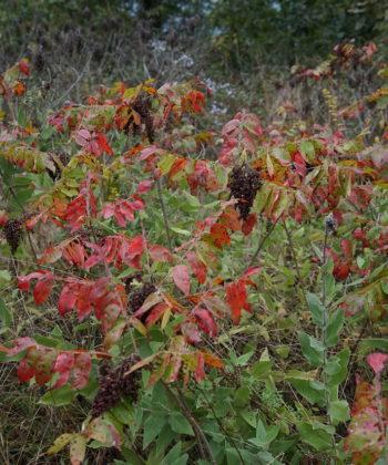 Helianthus mollis CW2016229 am Naturstandort in den Ozarks.