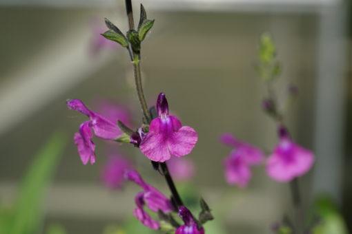 Die Blütenfarbe von Salvia muelleri ist mit der Kamera nur schwerlich einzufangen.