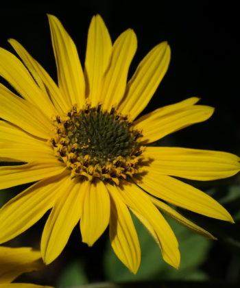 Helianthus mollis CW2016229 ist eine der Wildarten mit den größten Blütenständen.