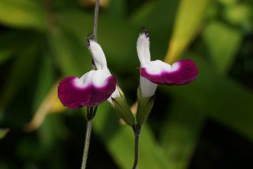 Salvia x 'Amethyst Lips' mit ihren kontrastreichen Blüten.