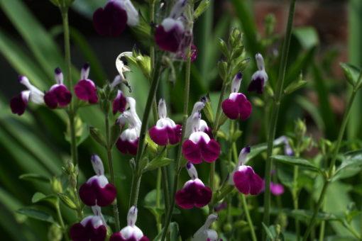 Salvia x 'Amethyst Lips' bringt viele der kleineren aber weithin auffälligen Blüten hervor.