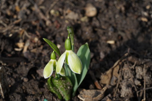 Galanthus elwesii 'Rosemary Burnham' ist ein relativ kompaktes Schneeglöckchen.