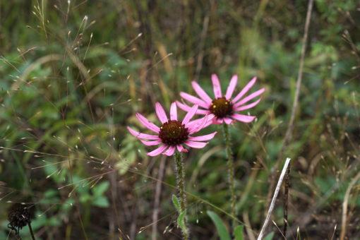 Echinacea tennesseensis zusammen mit Sporobolus heterolepsis am Naturstandort.