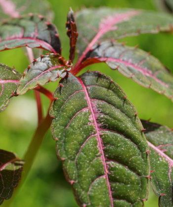Impatiens omeinana 'Sango' zeigt bis zum Hochsommer einmalig schöne Blätter.