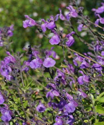 Salvia 'Mesa Azure' blüht überreich.