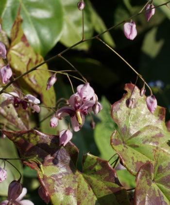 Epimedium x 'Kaguyahime' ist eine asiatische Hybride der Elfenblumen.
