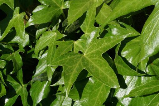 Hedera helix 'Irish Lace' zeigt helleres Laub als viele andere Sorten.