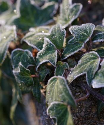 Das Winterbild von Hedera helix 'Irish Lace'.