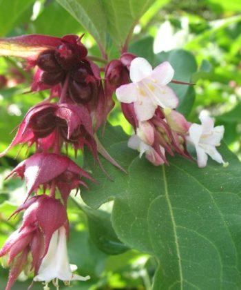 Leycesteria formosa zeigt bei ihren weißen Blüten die Verwandtschaft zu den Geißblattgewächsen.