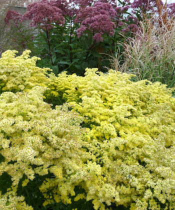 Solidago 'Loysder Crown' in einer Beetsituation.