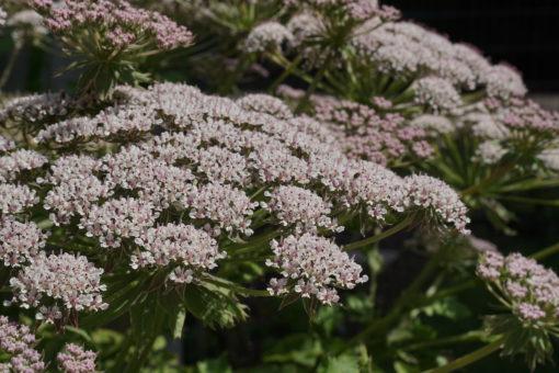 Melanoselinum decipiens ist ein sehr imposanter Doldenblütler aus Madeira.