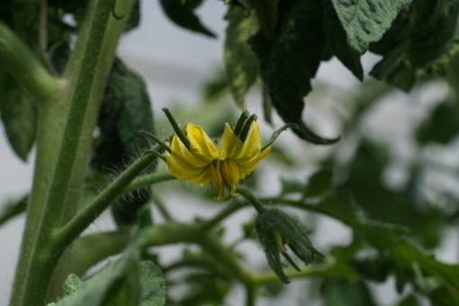 Blüte der Tomate 'Old German'.