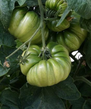 Verheißungsvolle noch grüne Früchte der Tomate 'Old German'.