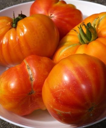 Die Stabtomate 'Tennessee Surprise' mit ihren flachen Früchten.