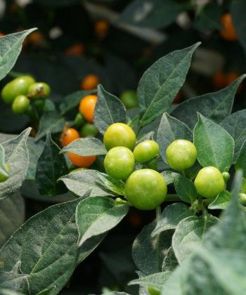 Der Chili 'Aji Charapita' bingt Massen von sehr kleinen Früchten hervor.