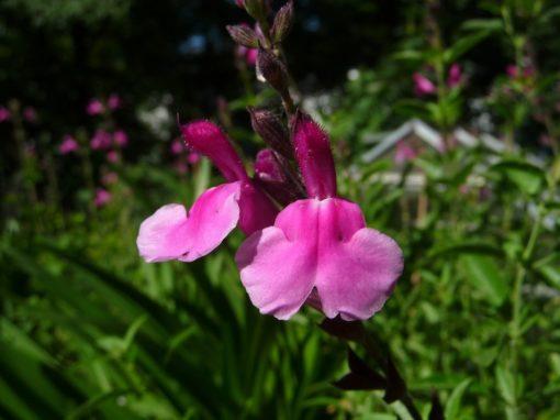 Die Ausfärbung der Blüten variert auch hier stark mit dem Wetter aber schön sind die Blüten immer.