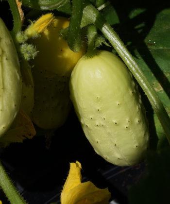 Die Gurke 'Miniature White' bildet nur sehr kurze Ranken aus und eignet sich daher auch für den Anbau auf dem Balkon.