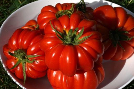 Die Tomate 'Leo Minusinsky' bringt viele große Früchte hervor.
