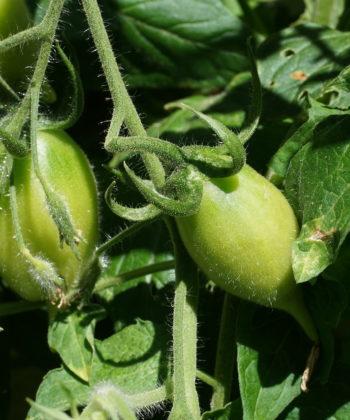 Die jungen Früchte der Tomate 'Akmore Treasure' verraten schon die spätere Form.