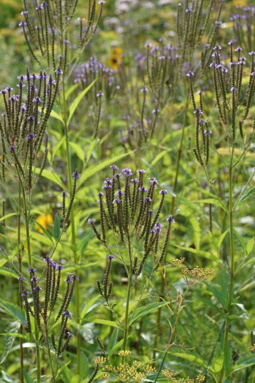 Die langen Blütenkerzen und der straff-aufrechte Wuchs zeichnen Verbena hastata aus.