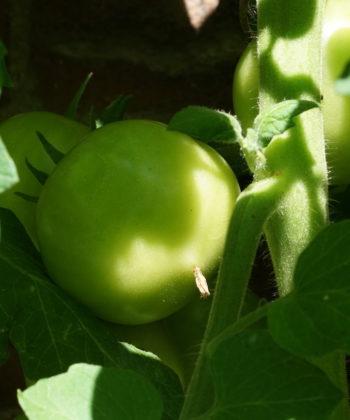 Die noch unreifen Früchte der Tomate 'Dansk Eksport'.