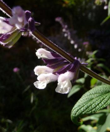 Die weißen Blüten mit violettem Hauch harmonieren hervorragend mit den violetten Blütenkelchen.