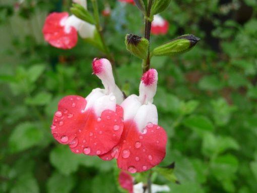 Durch die variable Färbung besonders lebendig Salvia micophylla 'Hot Lips'.