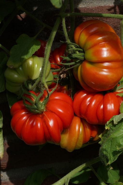 'Leo Minusinsky' ist eine sehr reichtragende Tomatensorte.