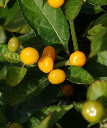 Zur Reife zeigen die Früchte des Chili's 'Aji Charapita' eine leuchtend orange Farbe.