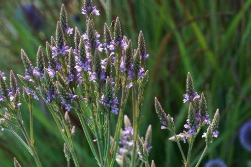 Verbena hastata stammt ursprünglich aus Nordamerika.