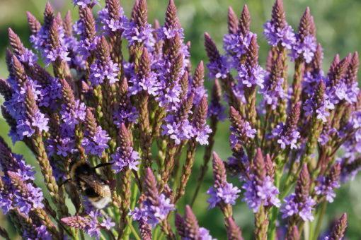 Verbena hastata und ihr Blütenreichtum.