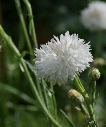 Centaurea cyanus 'Snowman' ist eine weiße Auslese der Kornblume.
