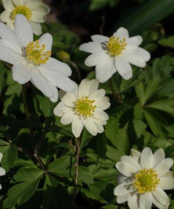 Anemone nemorosa 'Hilda' hat weiße halbgefüllte Blüten, die über dem kompakten Laub stehen.