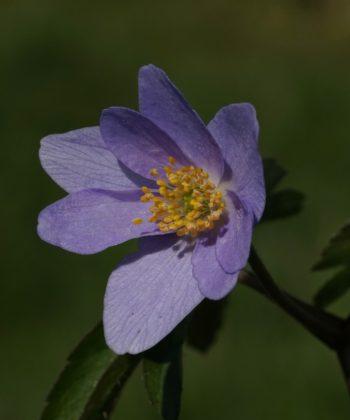 Anemone nemorosa 'Lismore Blue' ist eine der größten und kräftigsten blauen Buschwindröschen.